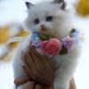 長毛種の猫を飼っている方へ朗報【これで洗濯物につく毛が軽減しますよ】